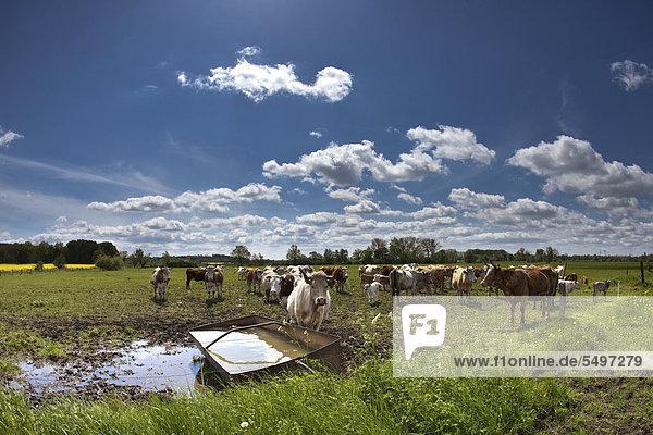 Cows on a pasture near Potsdam  Brandenburg  Germany  Europe