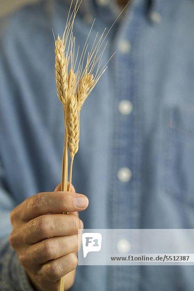 Farmer holding eine Welle von Weizen