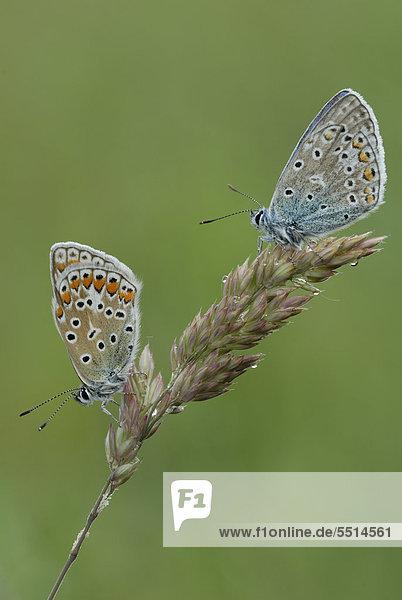 Zwei Hauhechel-Bläulinge (Polyommatus icarus)