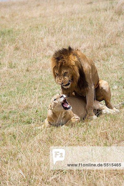 Pampashase  Dolichotis patagonum  Löwe  Panthera leo  Löwin  Masai