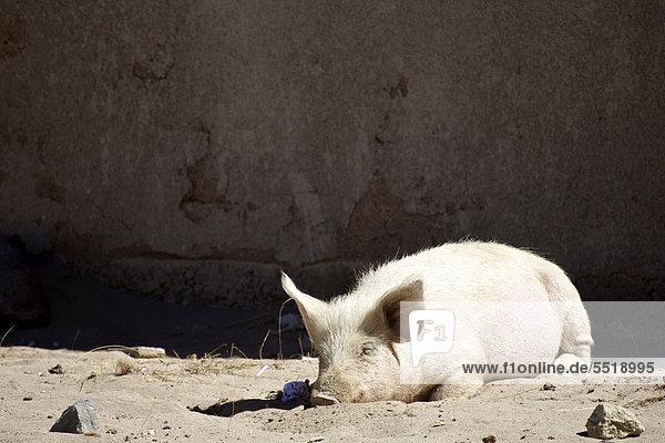 Schlafendes Hausschwein in Quetena Chico  Atacama-Wüste  Altiplano  südliches Bolivien  Südamerika