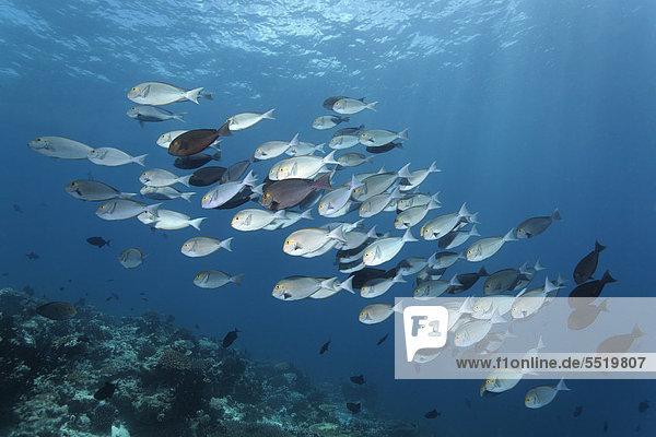 Wasser Fischschwarm offen über Großes Barriereriff great barrier reef schwimmen UNESCO-Welterbe Australien Cairns Pazifischer Ozean Pazifik Stiller Ozean Großer Ozean Queensland Riff Borstenzahndoktorfisch