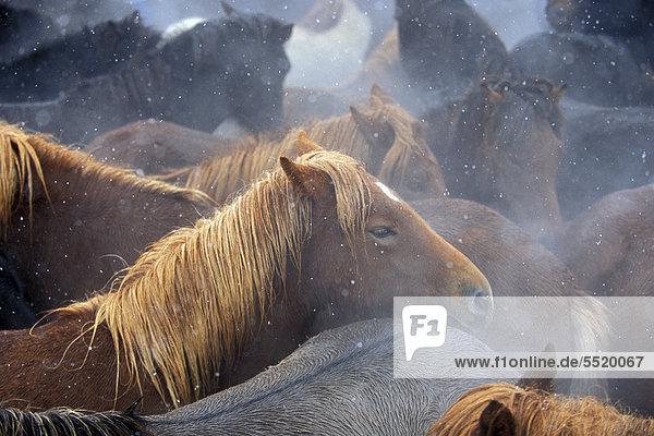 Islandpferde  größter Pferdeabtrieb Islands  Laufsk·larÈtt  Hjaltadalur  Skagafjör_ur oder Skagafjördur  Nordisland  Island  Europa Islandpferde, größter Pferdeabtrieb Islands, Laufsk·larÈtt, Hjaltadalur, Skagafjör_ur oder Skagafjördur, Nordisland, Island, Europa