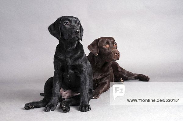 Schwarzer Labrador Retriever sitzt vor liegendem braunem Labrador Retriever
