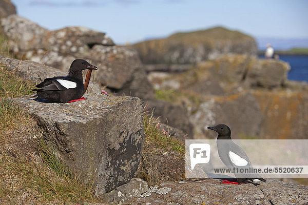Black Guillemot or Tystie (Cepphus grylle)  pair  Flatey island  Iceland  Europe