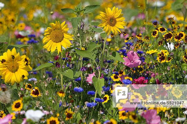Blumenwiese mit Sonnenblumen (Helianthus annuus)  Deutschland Blumenwiese mit Sonnenblumen (Helianthus annuus), Deutschland