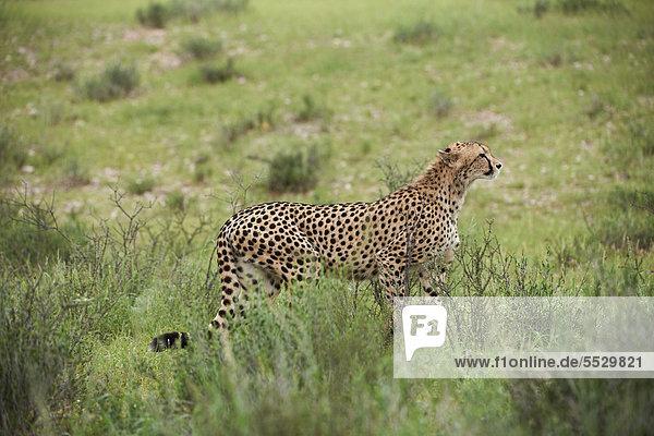 Weiblicher Gepard (Acinonyx jubatus) auf der Pirsch  Kgalagadi Transfrontier Park  Südafrika