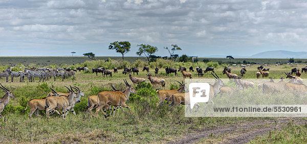 Eine Herde von Elenantilopen (Taurotragus oryx)  von Zebras (Equus quagga) und Streifengnus  Weißbartgnus (Connochaetes taurinus)  Masai Mara Naturschutzgebiet  Kenia  Ostafrika  Afrika  ÖffentlicherGrund