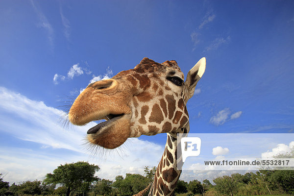 Reticulated Giraffe (Giraffa camelopardalis reticulata)  adult  portrait  in captivity  Florida  USA