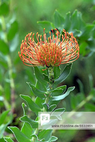 Südliches Afrika Südafrika Nadelkissen Blüte Afrika Kapstadt