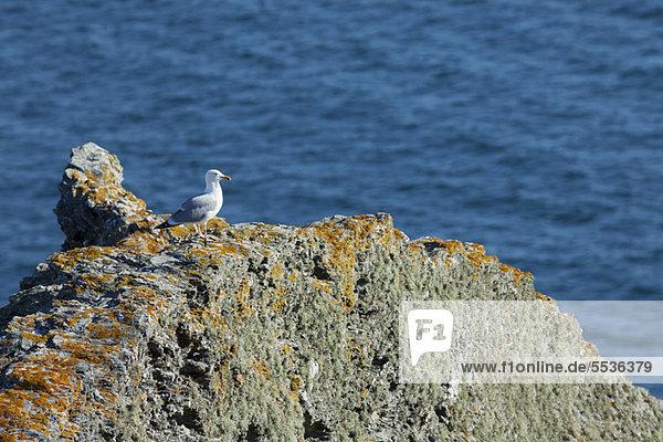 Möwe sitzt auf dem Felsen