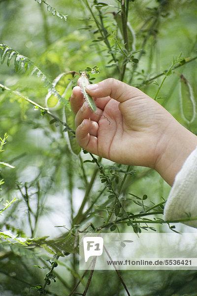 Kinderhand berührt Erbsenschote  die auf der Pflanze wächst
