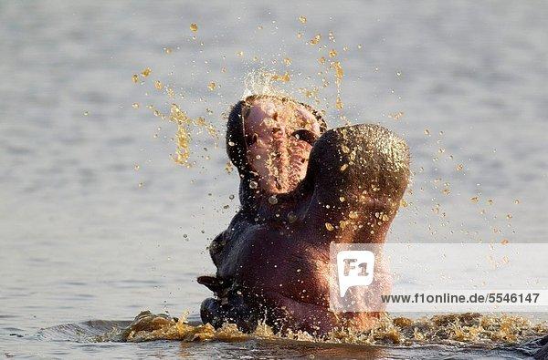 Südliches Afrika  Südafrika  Bulle  Stier  Stiere  Bullen  Flusspferd  Hippopotamus amphibius  Sonnenuntergang  Kampf  Spiel  Damm  ungestüm  Kruger Nationalpark