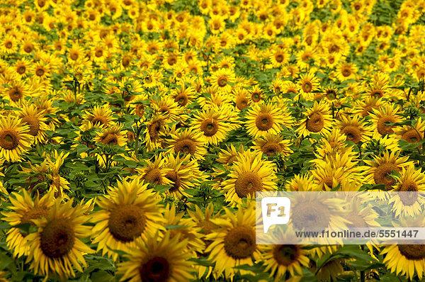 Sonnenblumenfeld (Helianthus annuus)  Limagne  Auvergne  Frankreich  Europa