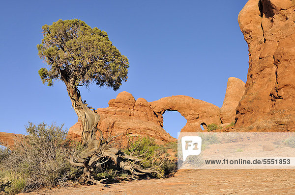 Utah-Wacholder (Juniperus osteosperma)  Felsbrücke  Steinbogen Turret Arch  Arches Nationalpark  Utah  USA