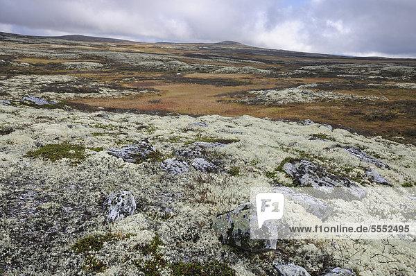 Rentierflechte (Cladonia rangiferina)  Fjelllandschaft im Herbst  Ringebufjellet  Norwegen  Europa