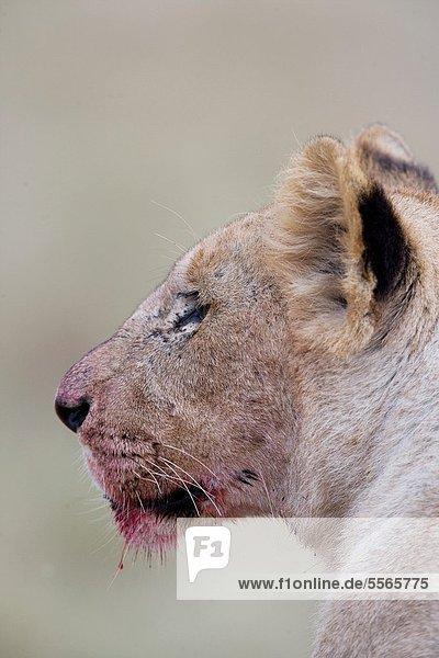 Pampashase  Dolichotis patagonum  Löwe  Panthera leo  jung  Masai