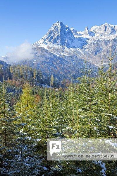 Blick über Bergwald zum Hochkönig  Berchtesgadener Alpen Blick über Bergwald zum Hochkönig, Berchtesgadener Alpen