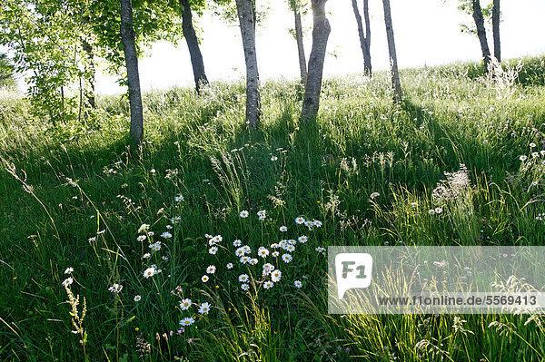 Wiese mit Gänseblümchen (Bellis sp.) und Birken (Betula sp.)  Haute-Loire  Auvergne  Frankreich  Europa