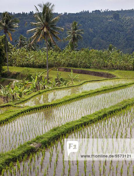Rice fields near Banjar  North Bali  Bali  Indonesia  Southeast Asia  Asia