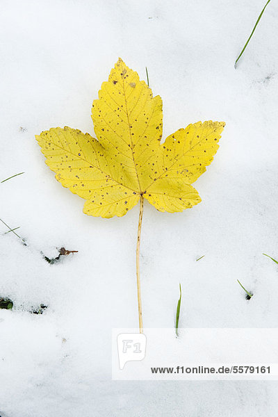 Gelbes Blatt im Schnee