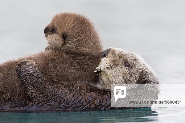 Female Sea Otter Betrieb Neugeborene Welpen aus Wasser  Prince William Sound  South Central Alaska  Winter Female Sea Otter Betrieb Neugeborene Welpen aus Wasser, Prince William Sound, South Central Alaska, Winter