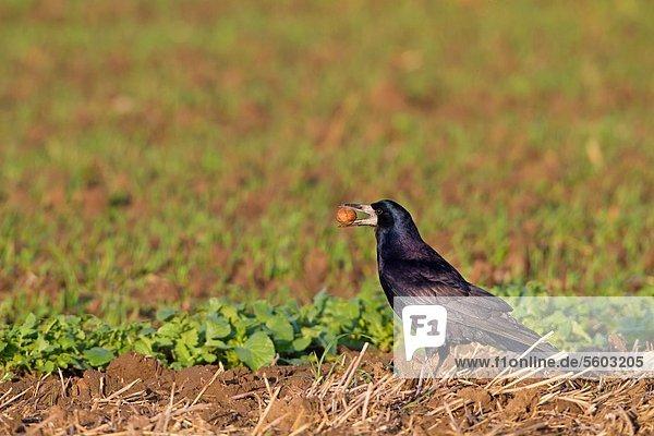 Saatkrähe (Corvus frugilegus) an einem Feld