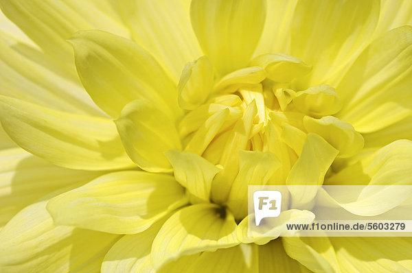 Dahlia Bruno Muth (Dahlia sp.)  flower detail
