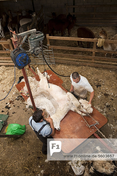 Alpaka (Lama pacos)  ausgewachsenes Tier wird vom Bauern auf dem Tisch geschoren  England  Großbritannien  Europa