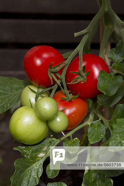 'Tomaten  Sorte ''Shirley'' (Solanum lycopersicum)'