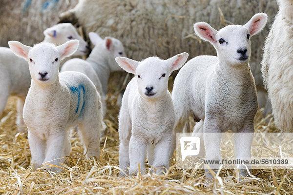 Hausschafe  Lämmer  mit Mutterschafen im Stand auf Stroh  North Yorkshire  England  Großbritannien  Europa Hausschafe, Lämmer, mit Mutterschafen im Stand auf Stroh, North Yorkshire, England, Großbritannien, Europa