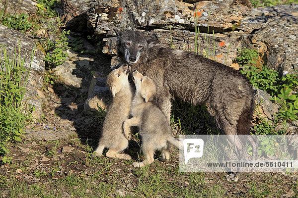 Wolf (Canis lupus)  erwachsene Wölfin mit acht Wochen alten Welpen  die um Futter betteln  captive  Montana  USA