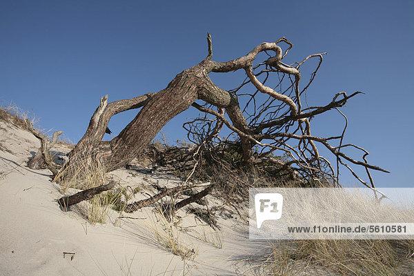 Europa blasen bläst blasend Landschaft Wind Kiefer Pinus sylvestris Kiefern Föhren Pinie Düne Ostsee Baltisches Meer Bodden Darß Deutschland Mecklenburg-Vorpommern