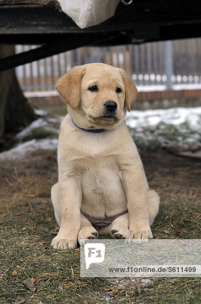 Blonder Labrador Retriever Welpe sitzt auf Wiese