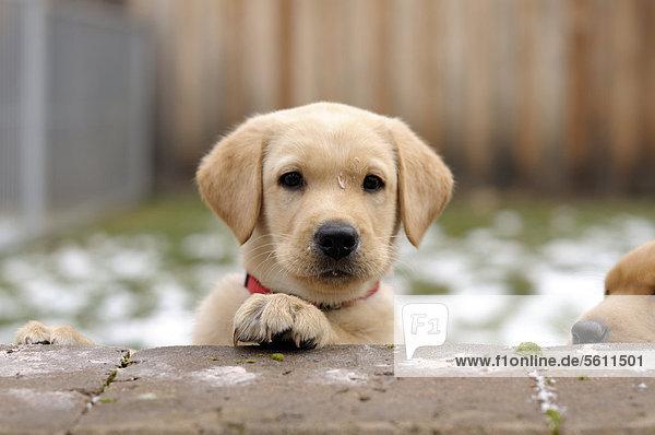 Blonder Labrador Retriever Welpe schaut über Mauer