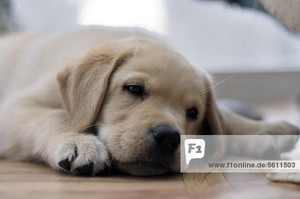 Blonder Labrador Retriever Welpe liegt müde auf dem Boden