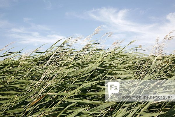 Schilf wiegt sich im Wind  Zeeland  Niederlande Schilf wiegt sich im Wind, Zeeland, Niederlande