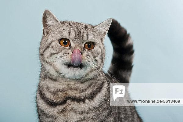 Getigerte Britisch Kurzhaar Katze  Kater  mit Zunge auf Nase