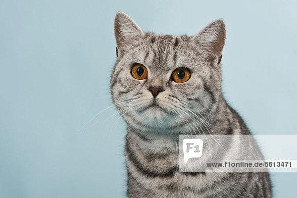 Getigerte Britisch Kurzhaar Katze  Kater  Portrait