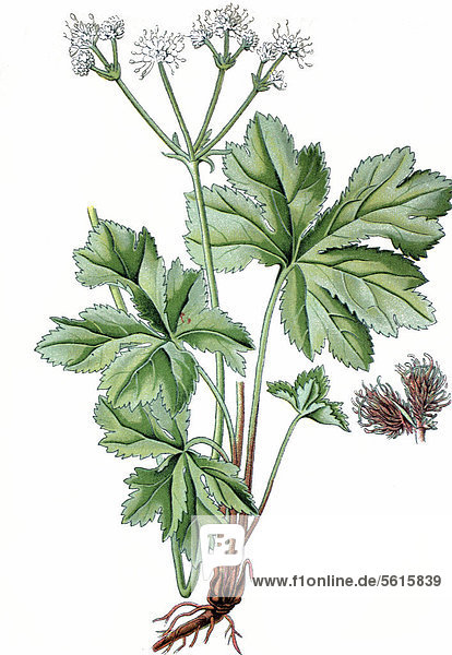 Europäischer Sanikel (Sanicula europaea)  Heilpflanze  historische Chromolithographie  ca. 1870