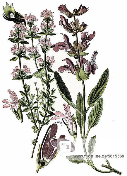 Thymian (Thymus vulgaris) links  und Salbei (Salvia officinalis) rechts  Heilpflanzen  historische Chromolitographie  ca. 1870