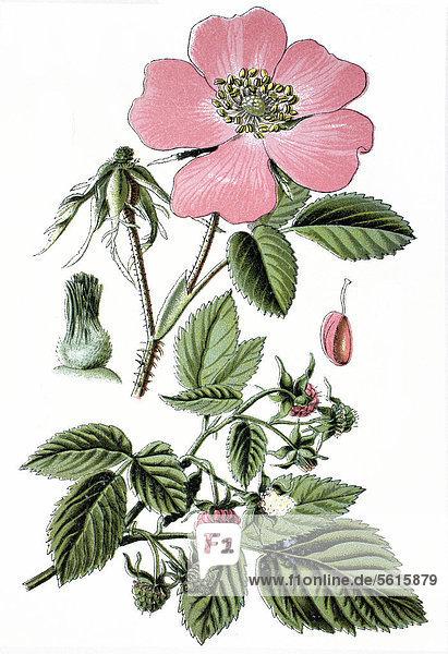Essig-Rose (Rosa gallica) oben  Himbeere (Rubus ideaus) unten  Heilpflanzen  historische Chromolitographie  ca. 1870