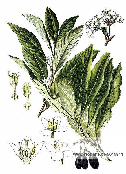 Lorbeer (Laurus nobilis)  Heilpflanze  historische Chromolithographie  ca. 1870
