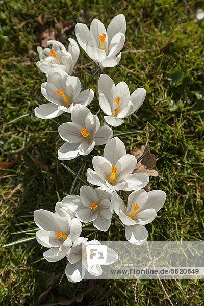Großblumiger Gartenkrokus (Crocus vernus) 'Jeanne d' Arc