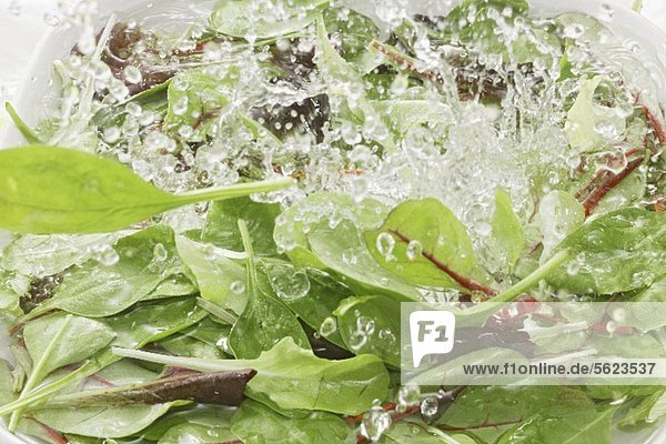 Blattsalat und Spinat im Wasser