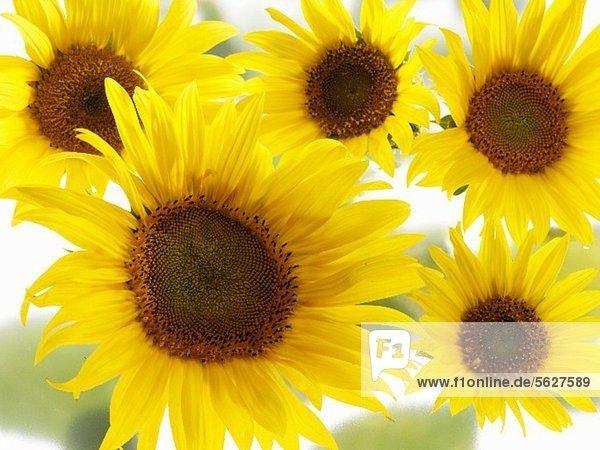 Fünf Sonnenblumen