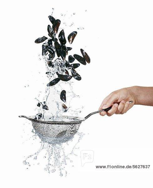 Miesmuscheln im Sieb waschen