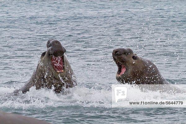 Bulle Stier Stiere Bullen Kampf Ozean Meer Insel Süden König - Monarchie Südlicher Seeelefant Mirounga leonina Erwachsener Bucht Bluff Zucht Südgeorgien