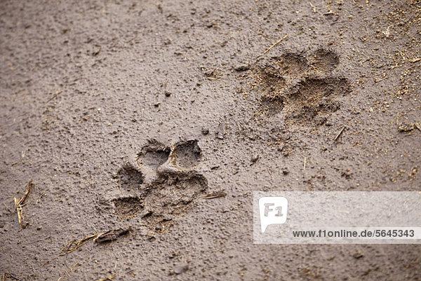 Ein Paar Löwenpfotenabdrücke  Nahaufnahme
