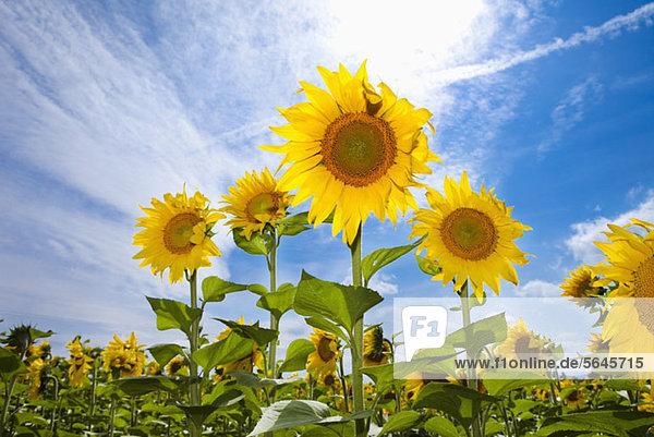 Sonnenblumen  die auf einem Feld wachsen